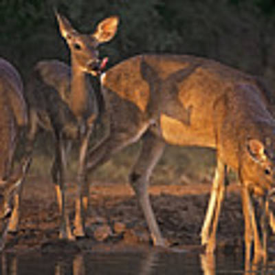 Whitetail Deer At Waterhole Texas Art Print by Dave Welling
