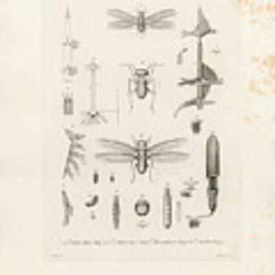 African Termites And Their Anatomy Art Print by W Wagenschieber
