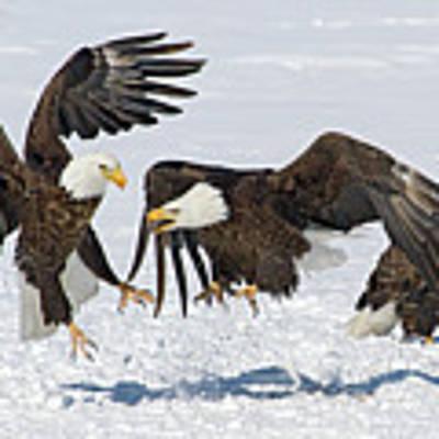 Bald Eagle's Art Print by Wesley Aston