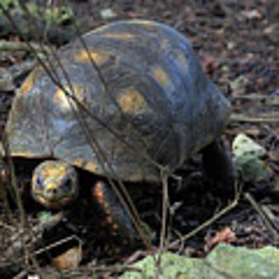 Barbados Wildlife Reserve-red Footed Tortoise #1 Art Print by PJ Boylan