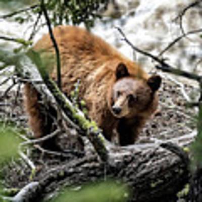 Bear In Trees Art Print by Scott Read