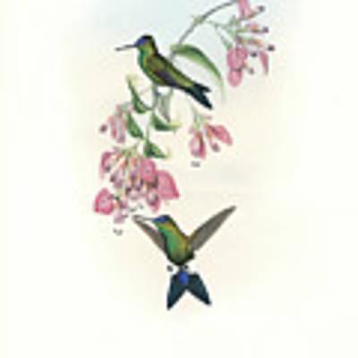 Blue-capped Puffleg Hummingbird Eriocnemis Glaucopoides Art Print by John and Elizabeth Gould