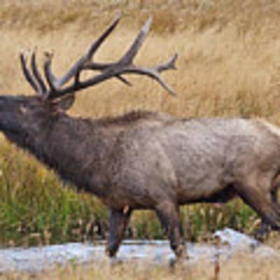Bull Elk In Yellowstone Art Print by Wesley Aston