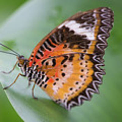 Butterfly On The Edge Of Leaf Art Print by John Wadleigh