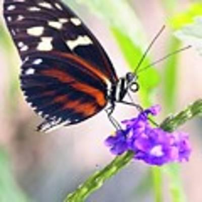 Butterfly Side Profile Art Print by Garvin Hunter
