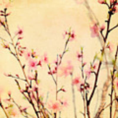 Cherry Blossoms Art Print by Kim Fearheiley