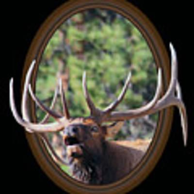 Colorado Bull Elk Art Print by Shane Bechler