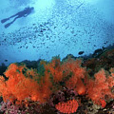 Diver And Soft Corals In Pescador Island Art Print
