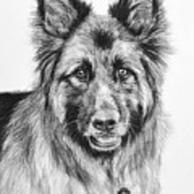 Drawing Of A Long-haired German Shepherd Art Print by Kate Sumners