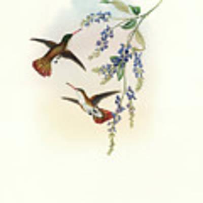 Green-fronted Hummingbird Amazilia Viridifrons Art Print by John and Elizabeth Gould