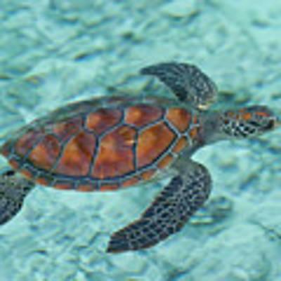 Green Sea Turtle Art Print