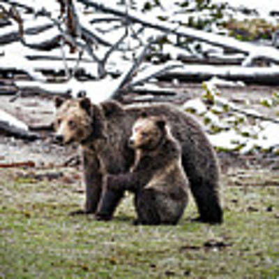 Grizzly Cub Holding Mother Art Print by Scott Read