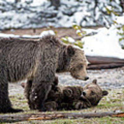 Grizzly Cub With Mother Art Print by Scott Read