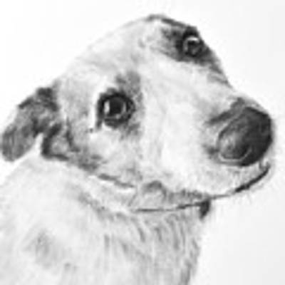 Jack Russell Terrier Drawing Art Print by Kate Sumners