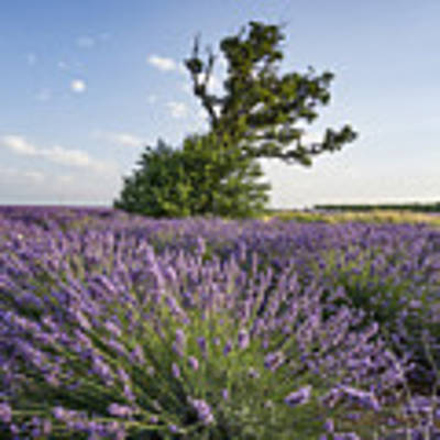 Lavender Provence  Art Print by Juergen Held