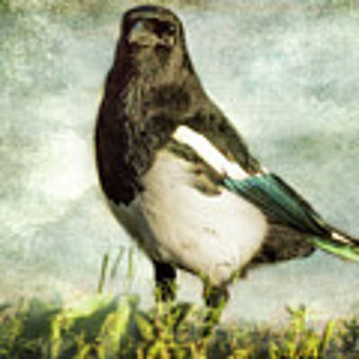 Message From The Magpie Art Print by Belinda Greb