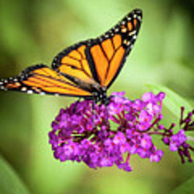 Monarch Moth On Buddleias Art Print by Carolyn Marshall