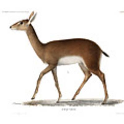 Oribi, A Small African Antelope Art Print by J D L Franz Wagner
