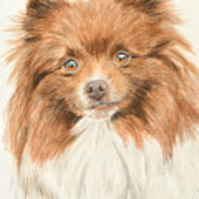 Pomeranian Orange Parti-colored Art Print by Kate Sumners