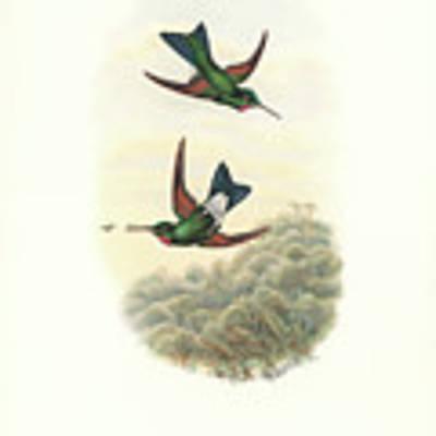 Rufous-webbed Brilliant Hummingbird Heliodoxa Branickii Art Print by John and Elizabeth Gould
