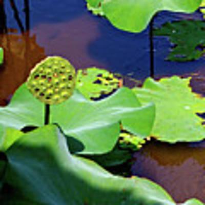 Seeds Of Lotus Art Print by Yen