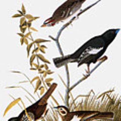 Sparrows Art Print by John James Audubon
