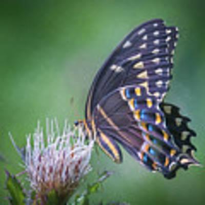 The Mattamuskeet Butterfly Art Print by Cindy Lark Hartman