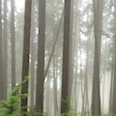 Foggy Forest Art Print by Karen Zuk Rosenblatt