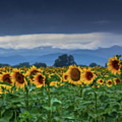 Sunflowers Under A Stormy Sky Art Print by John De Bord