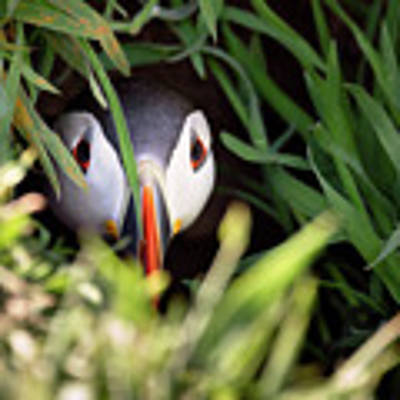 Atlantic Puffin In Burrow Art Print by Elliott Coleman