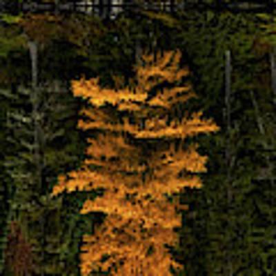 Autumn Tamarack  Art Print by Doug Gibbons