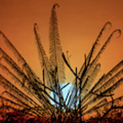 Burmese Fern At Sunset Art Print by Chris Lord