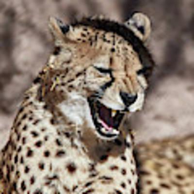 Cheetah Growl Art Print by Robert WK Clark