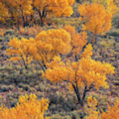 Cottonwoods In Autumn Art Print by Dustin LeFevre