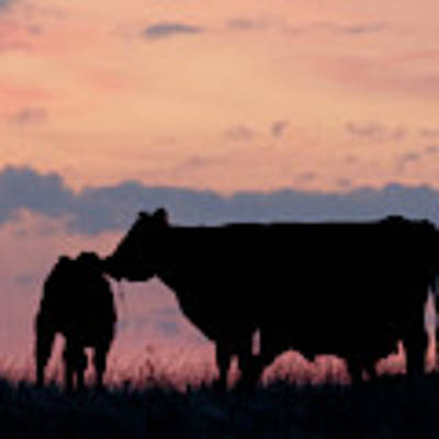 Cow And Calves After Sunset 01 Art Print by Rob Graham
