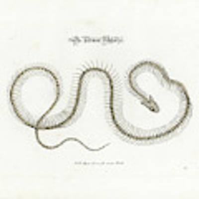 European Grass Snake Skeleton Art Print by Johann Daniel Meyer