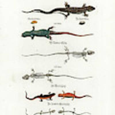 European Lizards And Newts Art Print by Johann Daniel Meyer