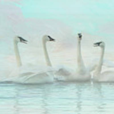 Four Swans Watercolor Group Art Print by Patti Deters