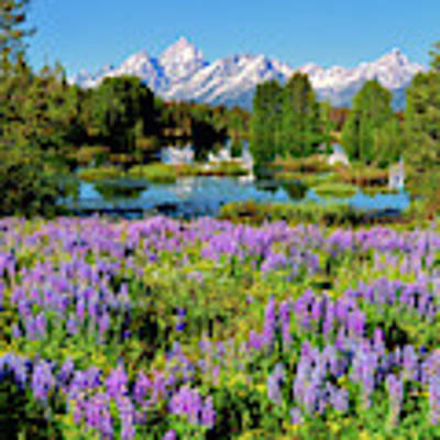 Grand Teton Lovely Lupines Art Print by Greg Norrell