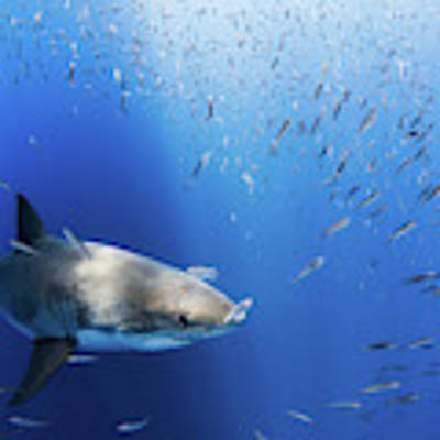 Great White Shark Art Print by Nicole Young