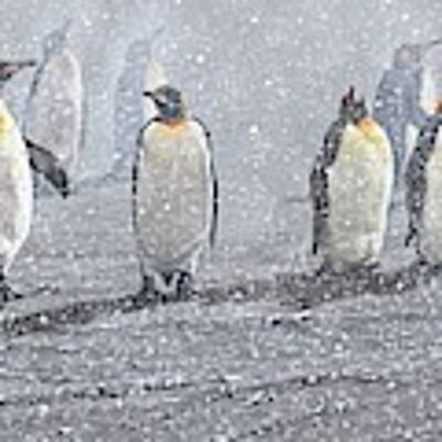 Group Of King Penguins In The Snow Art Print by Alan M Hunt