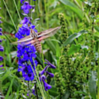 Hummingbird Moth And Larkspur Art Print by Dawn Richards