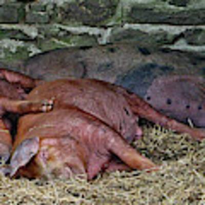 Let Sleeping Pigs Lie Art Print by PJ Boylan