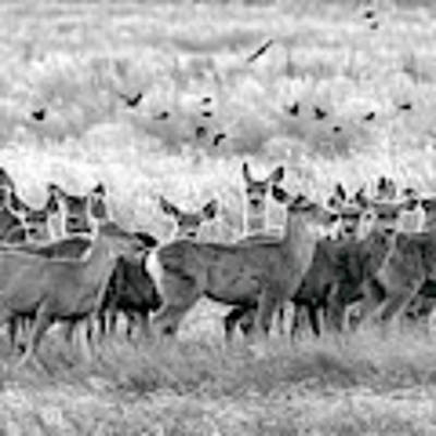 Mule Deer Black And White 01 Art Print by Rob Graham