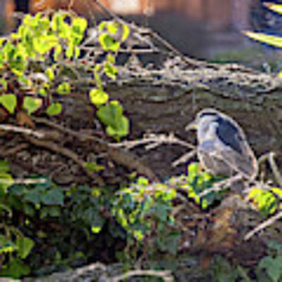 Night Heron At The Palace Revisited Art Print by Kate Brown