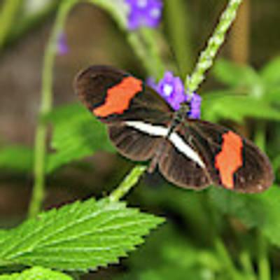 Postman Butterfly 1 Art Print by Dawn Richards