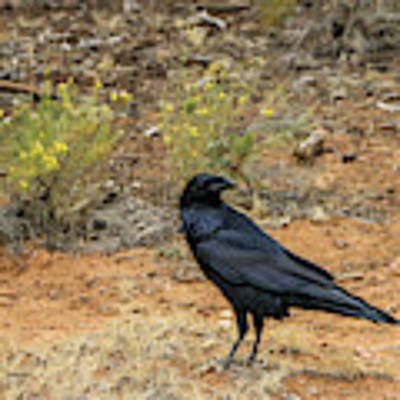 Raven, Grand Canyon Art Print by Dawn Richards