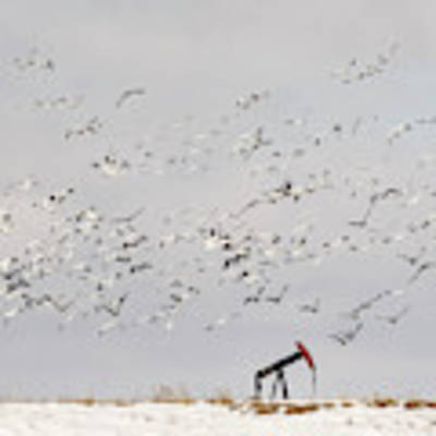 Snow Geese Over Oil Pump 01 Art Print by Rob Graham