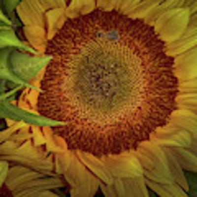 Sunflower Splendor Art Print by Judy Hall-Folde