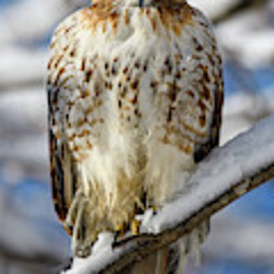 The Look, Red Tailed Hawk 1 Art Print by Michael Hubley